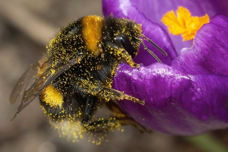 Bumblebee Facts Pollen