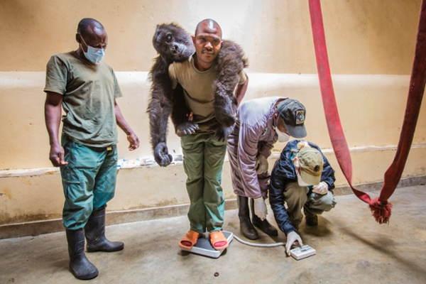 Gorilla Doctors Hanging