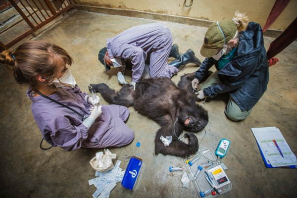 Gorilla Doctors Operating