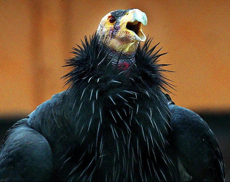 Condor Throat