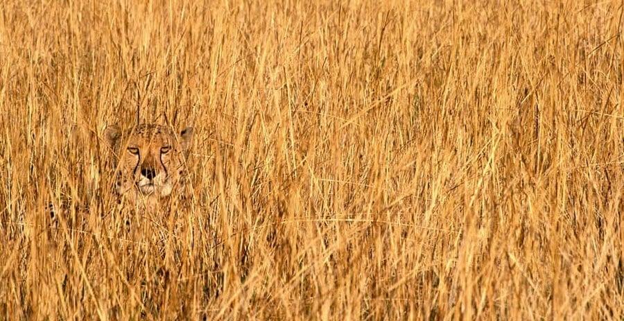 Animal Camouflage Cheetah