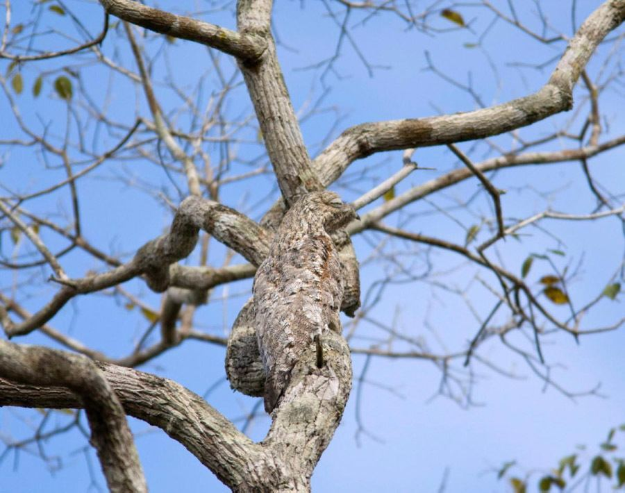 Animal Camouflage Great Potoo