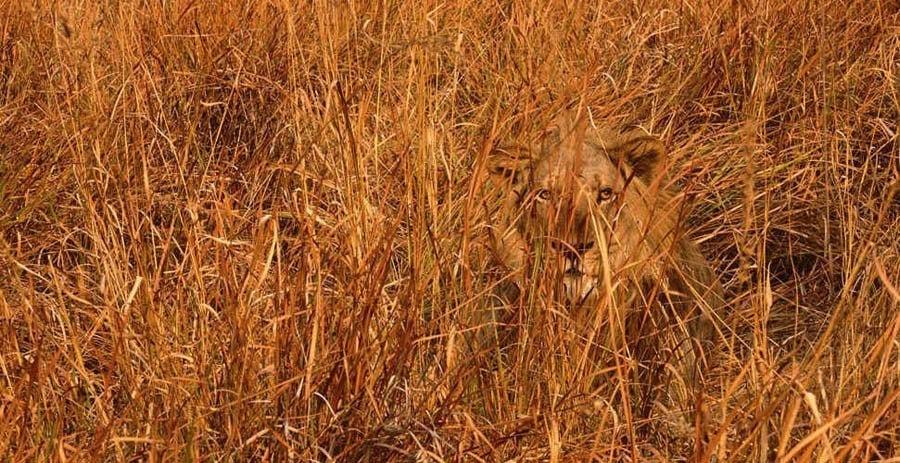 Animal Camouflage Lion