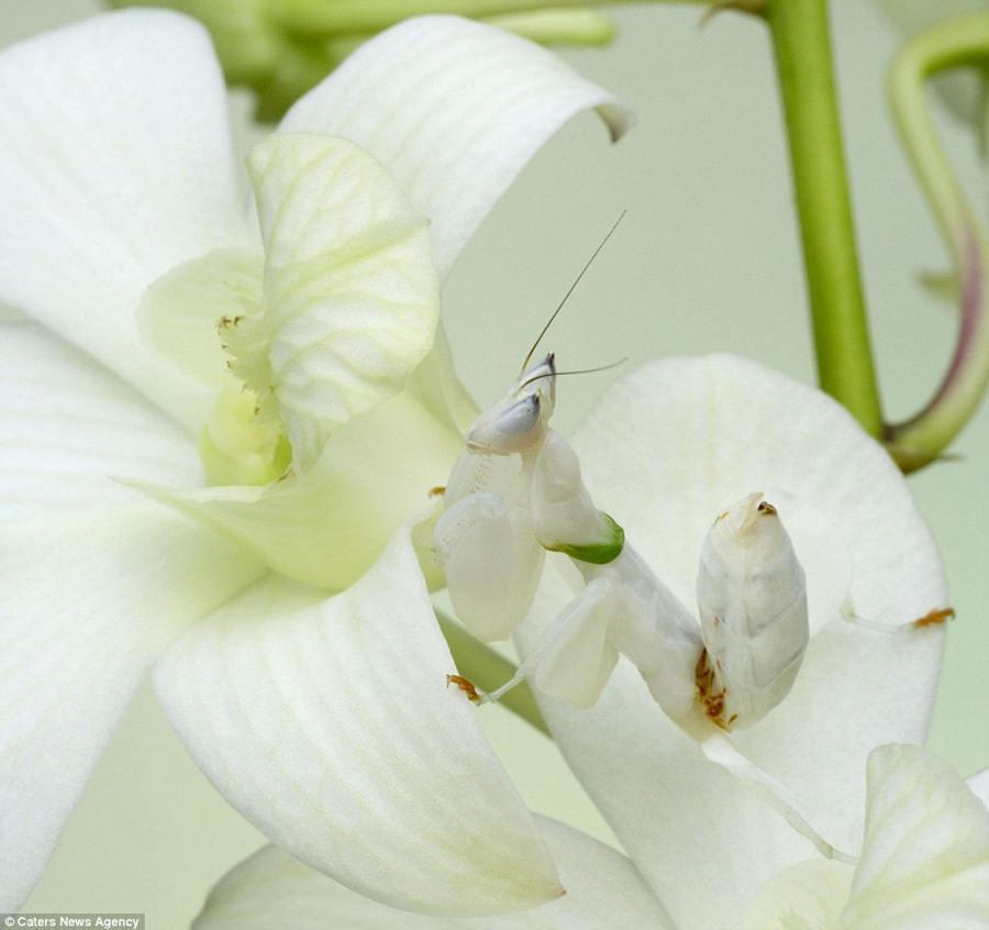 Animal Camouflage Mantis