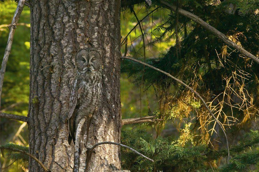 Animal Camouflage Owl