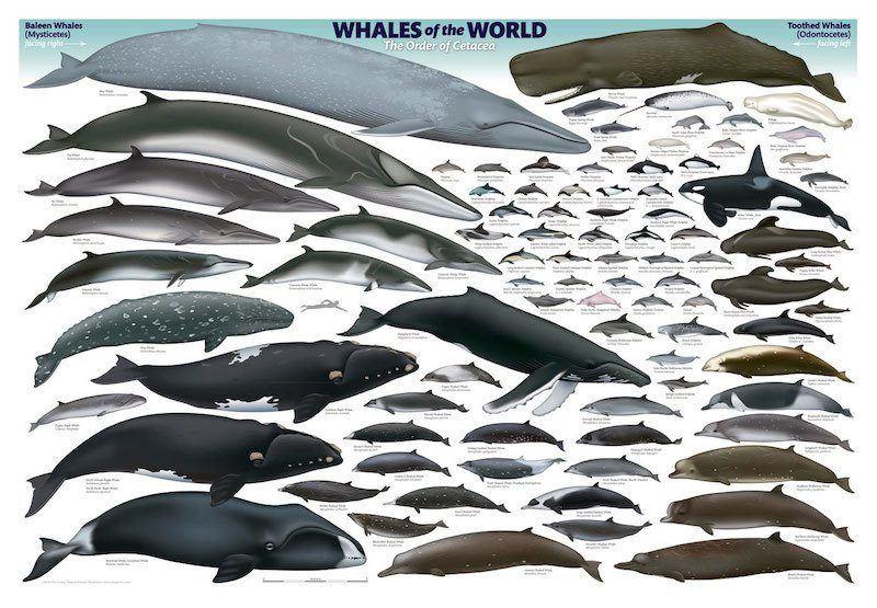 Cetacean Intelligence Chart