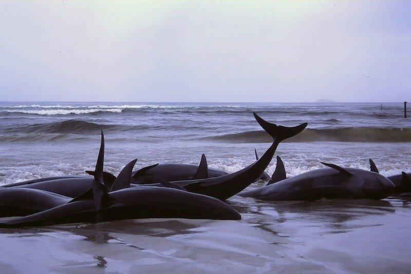 Cetacean Intelligence Mass Stranding