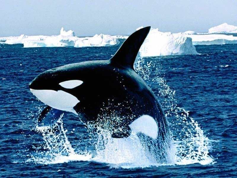 Cetacean Intelligence Leaping Orca