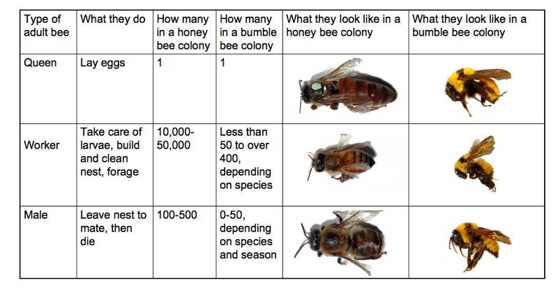 Bumblebee Facts Bee Chart