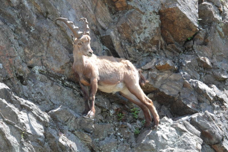 Animals With Superpowers Ibex Climbing
