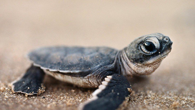 Baby Turtle at Beach