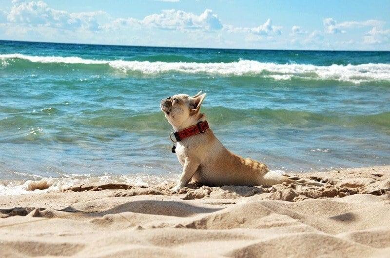Dog Does Yoga on Beach