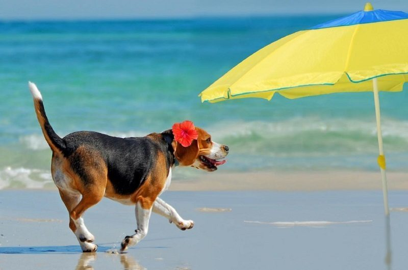 Happy Beagle Animals on the Beach