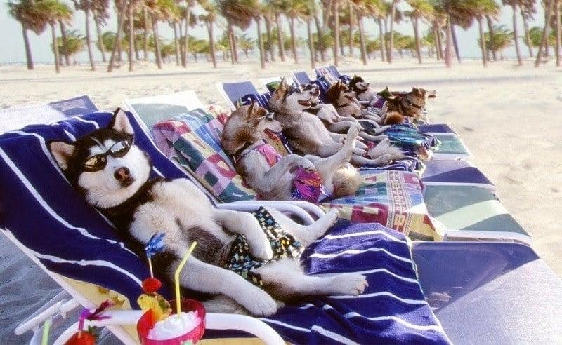 Husky Dogs on the Beach