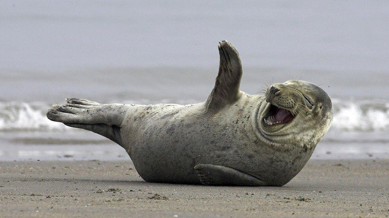 Laughing Seal on Beach