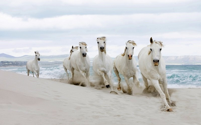 White Horses Enjoy The Beach