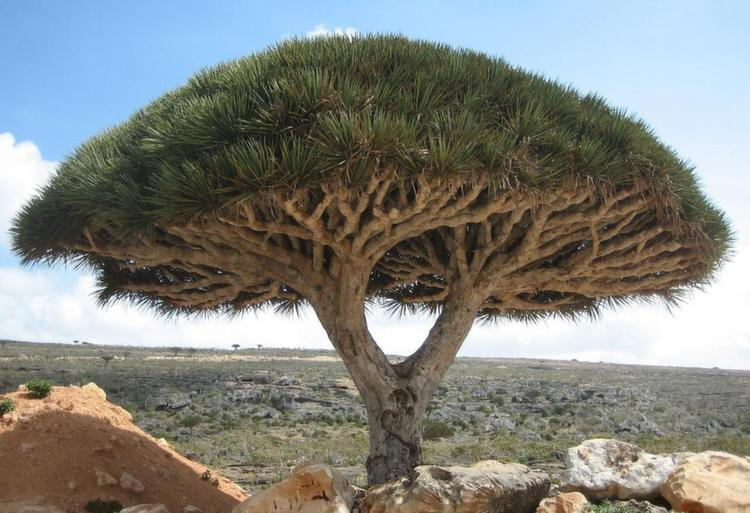 Weirdest Natural Places Socotra Dragon