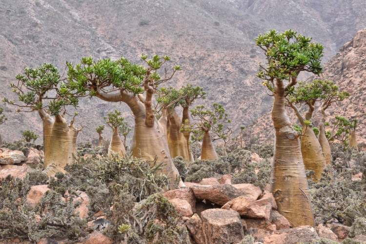 Weirdest Natural Places Socotra Trees