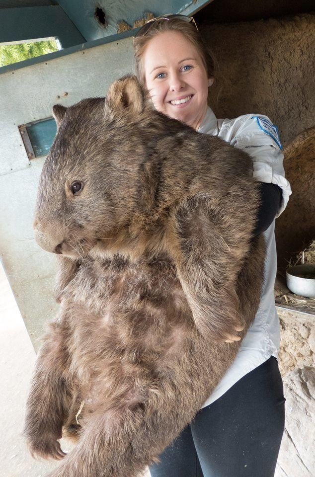 Oldest Wombat Held