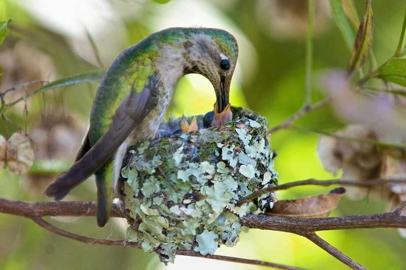baby hummingbirds