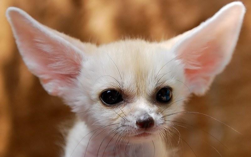 Fennec Fox Animal Videos in September