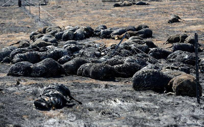Australia Extreme Weather Burned Sheep