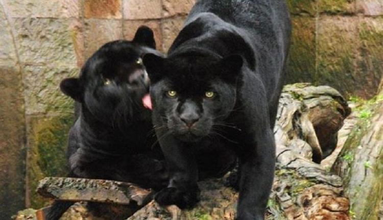 Mexican Drug Lord Panthers
