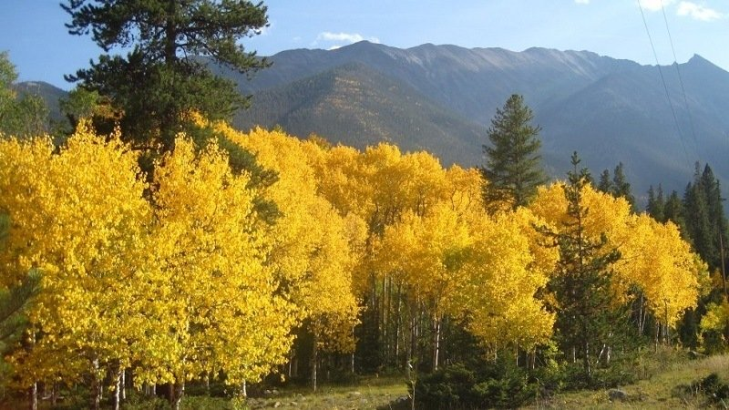 Yellow Leaves in Colorado