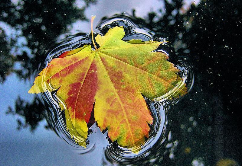 Autumn Leaf Floating
