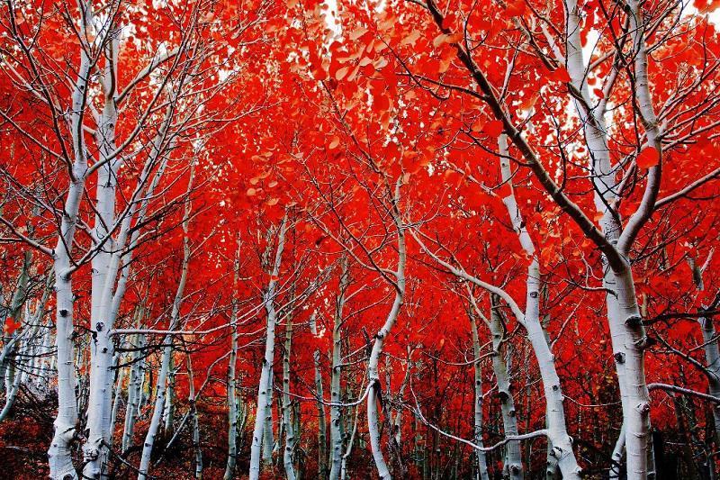 Red Leaves on Aspen Trees