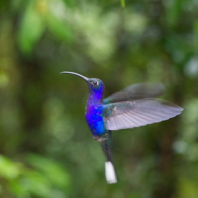 Blue And Purple Hummingbirds