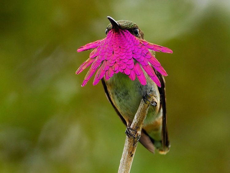 Hummingbirds Wine Throated