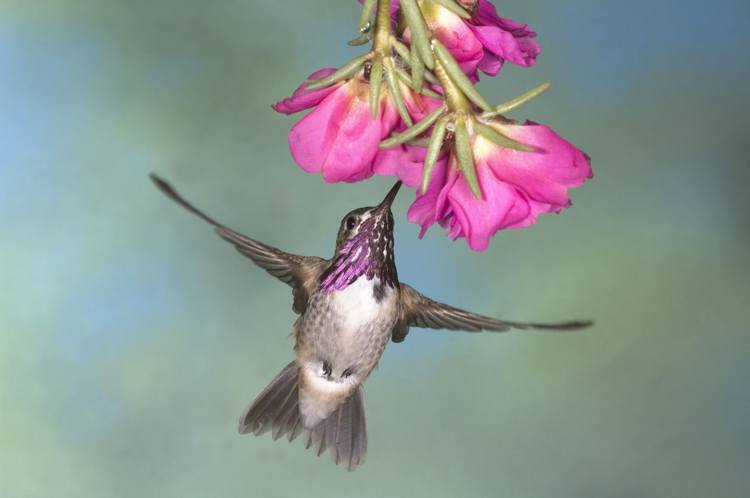 Hummingbirds Purple Throat