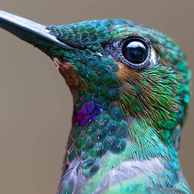 Hummingbirds Teal Close Up