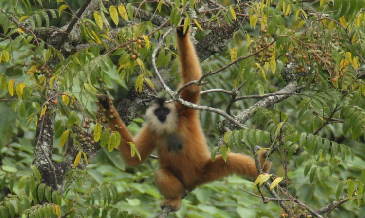 Rarest Animals Gibbon Moves
