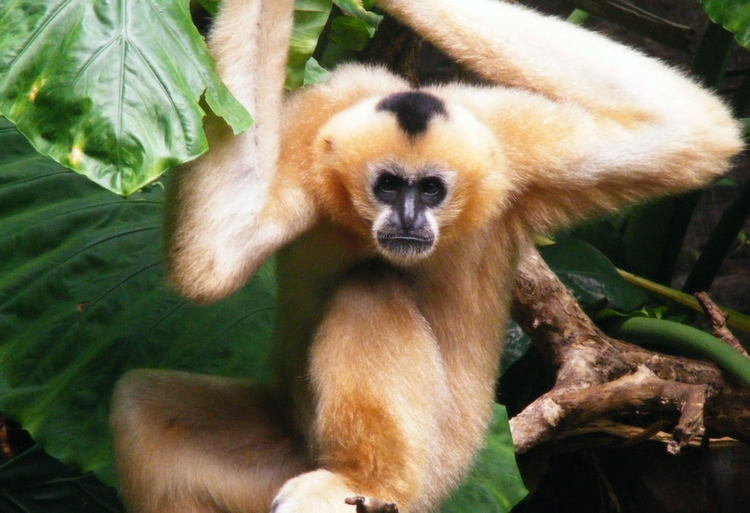 Rarest Animals Gibbon Close