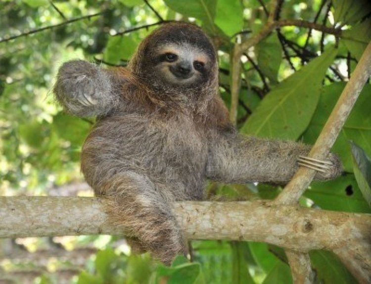 Image of: Critically Endangered Pygmy Threetoed Sloth All Thats Interesting The Rarest Animals On Earth