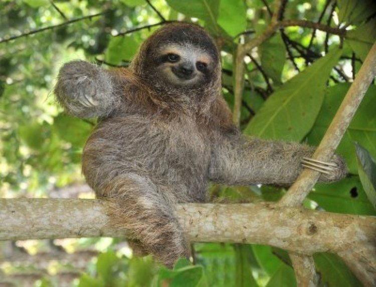 Sloth Fish