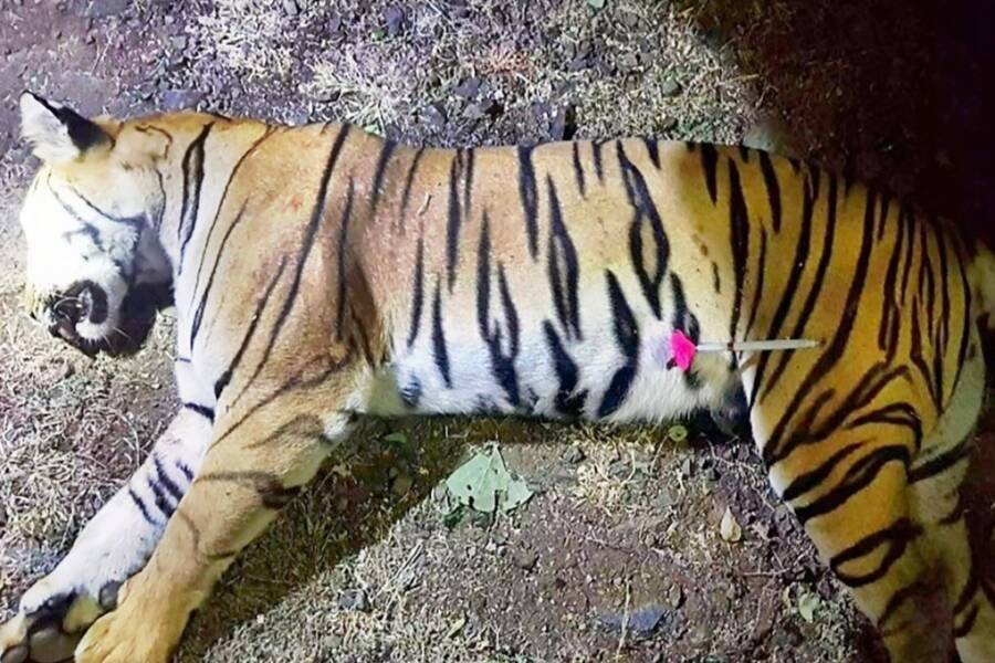 Tiger Killed In Manhunt