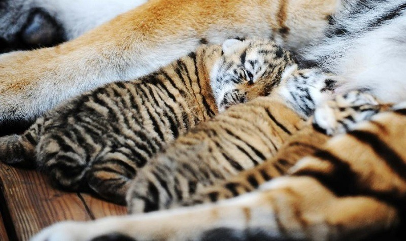 Image Result For China Wild Tigersa