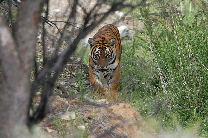 Tiger Hunting in China