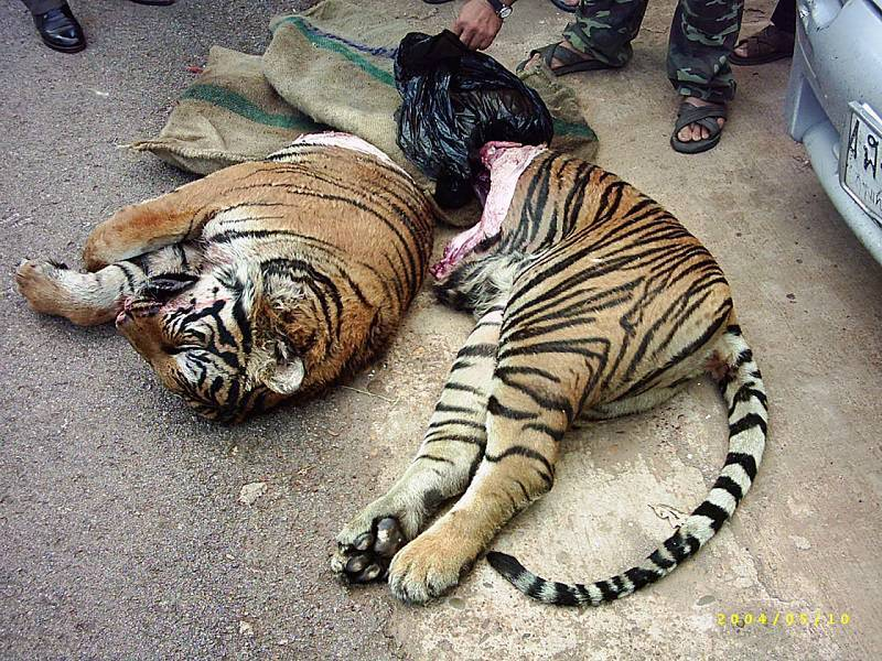 Illegal Tiger Poaching