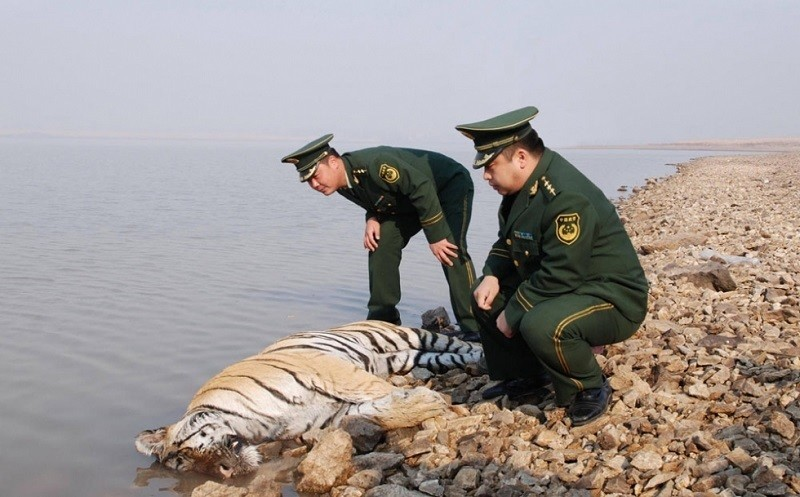 Siberian Tiger in China