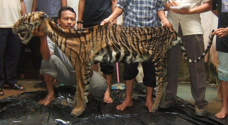 Poachers Kill Wild Tigers for Skins