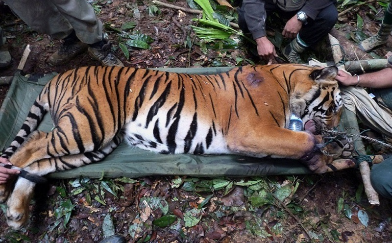 Slaughtered Wild Tigers
