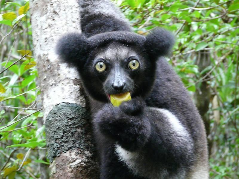Indri Lemur Eating