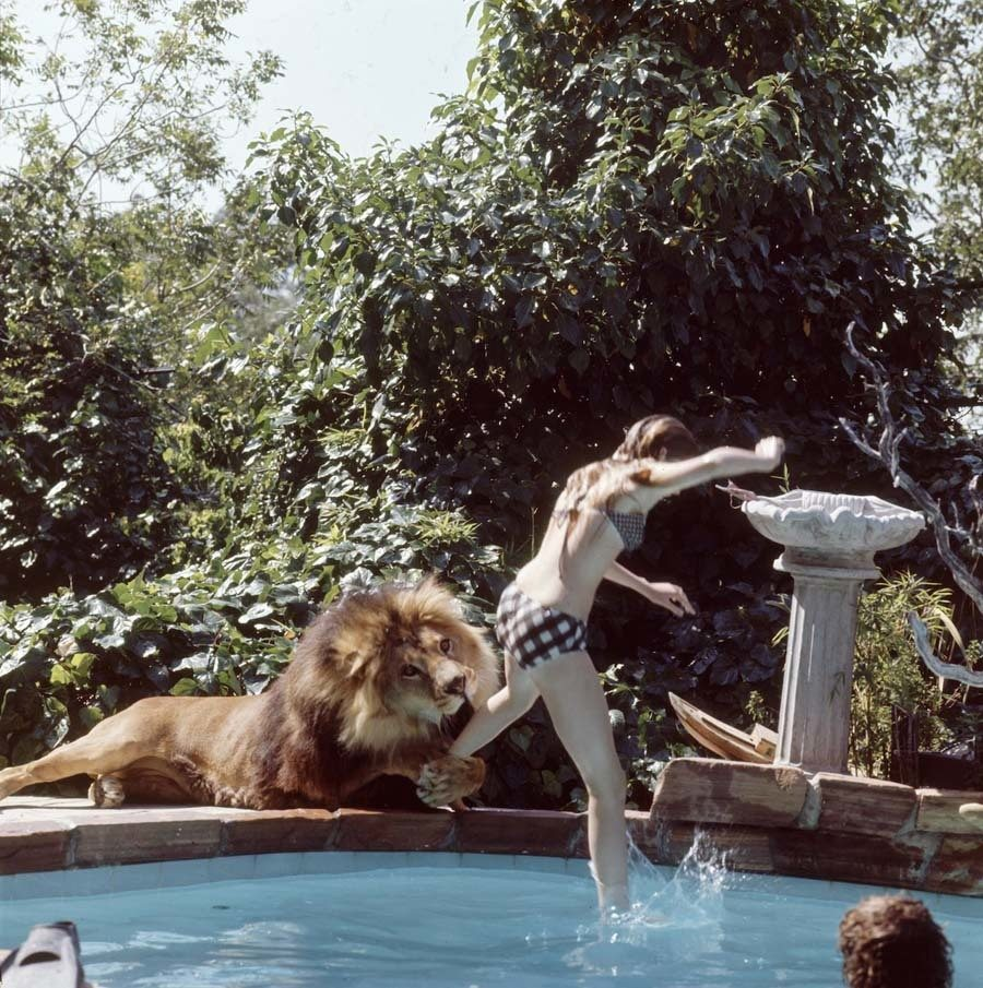 Life With A Lion Pool
