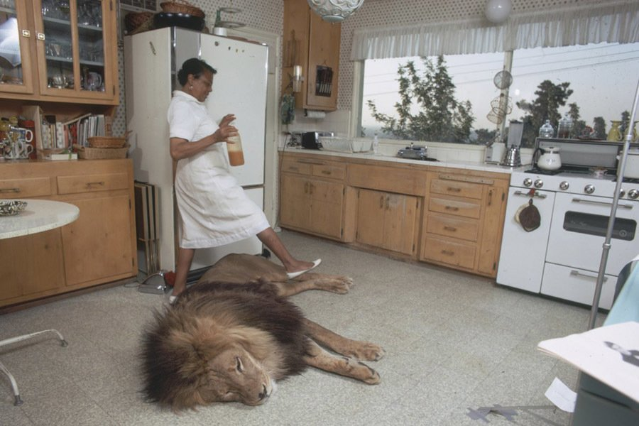 Domesticated Pet Lions In Hollywood