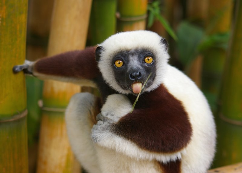 Lemur sticking out tongue