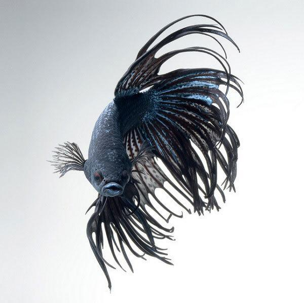 This betta fish photography is anything but basic for Black betta fish